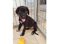 Puppies - Labrador / pointer