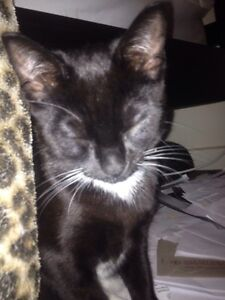 Young male cat. Blakeview Playford Area Preview