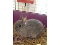 2 STILL AVAILABLE BEAUTIFUL NETHERLANDS DWARF RABBITS