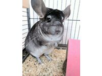 2x Female chinchillas age 5 for sale cage included