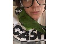 Missing Hahns Macaw