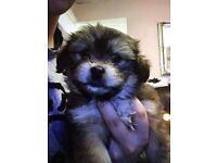 Chihtzu bitch puppy 15 weeks old for sale