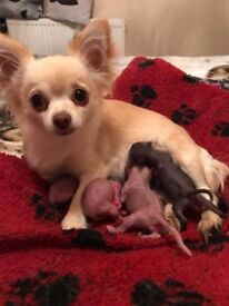 chinese crested cross puppies 1 boy left