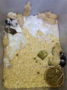 Cute Baby Mice Ettalong Beach Gosford Area Preview