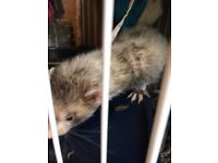 1 Male & 1 Female Ferret Looking For Loving Home Together, Must Have Experience