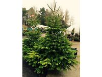 Fresh cut Nordman Fir Christmas trees 6-7ft