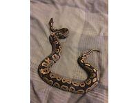 Mixed Reptiles - Ball Python, Gecko, Skink