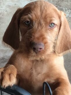 Hungarian Wirehaired Vizsla Yinnar Latrobe Valley Preview
