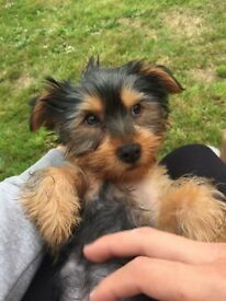 Yorkshire terrier pedigree