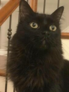 Lost Black Cat St Catharines Western Hill Vansickle Briarwood
