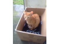 GINGER CAT FOUND Sewall Hgwy/Dennis Road