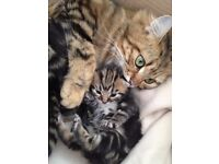 Beautiful bengal cat and kitten