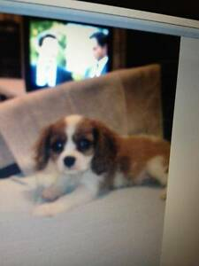 I AM LOOKING FOR A CAVALIER KING CHARLES BLENHEIM Hamilton South Newcastle Area Preview