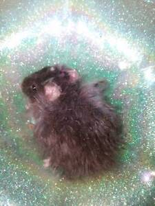 Baby Fancy Mice - MANX, TEXEL, REX, LONG HAIR & STANDARD Ettalong Beach Gosford Area Preview
