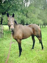 2 thoroughbreds for sale (prices in add ) Benalla Benalla Area Preview