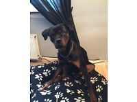 1 year old male Rottweiler. Such a sooky boy and loves attention.