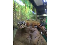 Gecko for sale with tank and all equipment