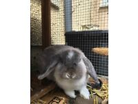 Stunning Mini Lop bonded pair - fawn girl and grey boy