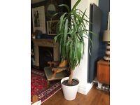 Large Yucca Plant