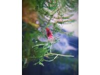 Cherry red shrimp / £10 for 15 can deliver