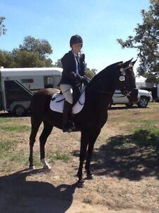 Pleasure trail riding gelding