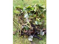 Pond plants and fish for sale