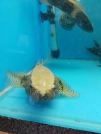 Watercow Goby 8-10 inch