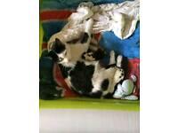 Black-and-white kittens