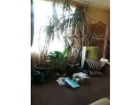 Dragon plants free to a good home must go soon as I'm to move