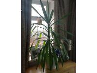 2 Large House Plants
