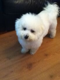 7 year old Bichon Frise for sale, divorce forces sale