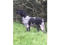Labrador German Shorthair Pointer Cross Pups
