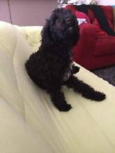 Beautiful Black poodle x female for sale. Caboolture Area Preview