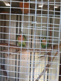 Pair of Moustache Parrots $200 the pair  not hand tamed.