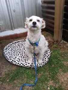 3year old male Maltese mix Ferntree Gully Knox Area Preview