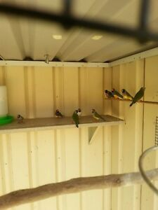 Gouldian finch Casula Liverpool Area Preview