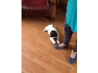 springer spaniel male puppy 8 weeks old looking for forever home