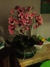 Ornamental orchid Como South Perth Area Preview