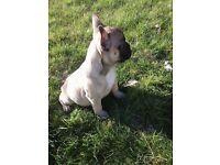 Fawn French bulldog Puppy