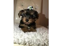 Pedigree Yorkshire Terrier amazing puppy ready to go now