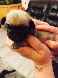 Full pedigree kc registered pug puppies