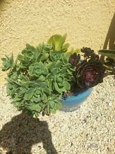 Blue  glazed pot full of succulents Old Beach Brighton Area Preview