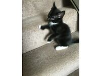 Last Kitten black and white Male £50
