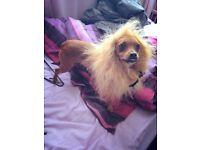 Chihuahua X needing forever home.