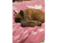 Outstanding Quality French Bulldog Puppies,blue fawns