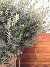 4 x 3 metre tall non-fruiting olive trees, great screens Wembley Downs Stirling Area Preview