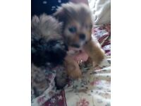 five adorable lhasa apso puppies