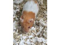 Jaffa, male Syrian Hamster