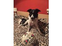 Female Border Collie for rehoming