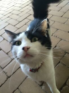 Missing cat Clarkson Wanneroo Area Preview